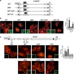 Prolonged Retention Of Ptc Mrnas In The Nucleus Requires A