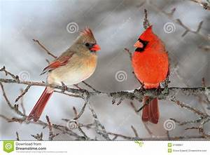 Cardinals In Snow Royalty Free Stock Photography - Image ...