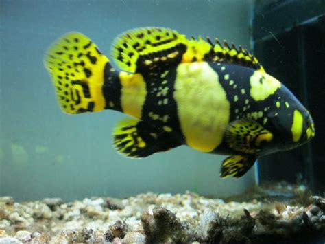 grouper bumblebee fish goliath uploaded