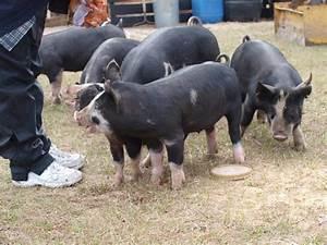 Berkshire Babies Pictures  U2013 Little Pig Farm