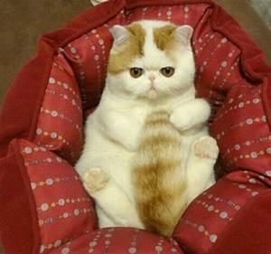 Snoopy Cat-Exotic Short Hair.♥.   .°♥°. SNOOPY CAT ...