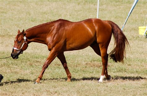 American Quarter Horse   Chestnuts and Dilutes   Pinterest ...