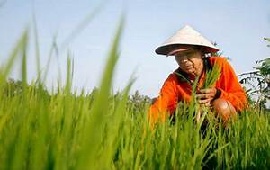 Image Gallery japanese rice field workers