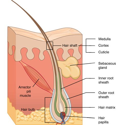 Hair Anatomy Diagram by Human Hair Anatomy For Hair Shaft And Folliciles With Diagrams