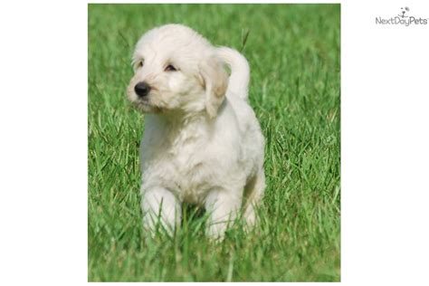 cutest non shedding dogs meet ballerina a goldendoodle puppy for sale for