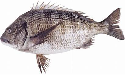 Fish Transparent Bluegill Clipart Icon Icons Peces