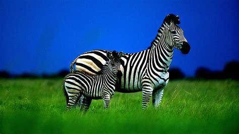 zebra family striped grass sky cub hogh contrast hd