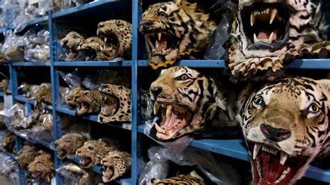 petition increase enforcement  siberian tiger