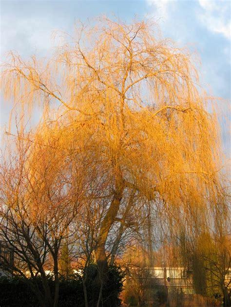 dutch treeguide  wwwbomengidsnl european trees