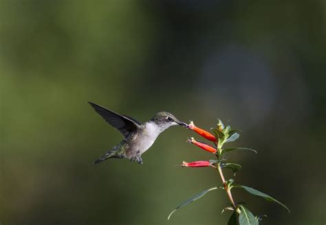 cigar plant hummingbirds 1236 best summer fan curated images on pinterest flowers garden flowers and photos