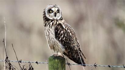 Eyes Yellow Nature Owls Barbed Wildlife Birds