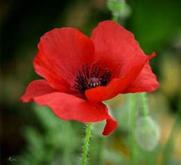 poppy flower picture best 25 poppies ideas on pinterest poppy poppies art and watercolor poppies