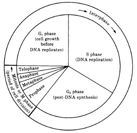 Reproduction  Molecular And Cell Biology Biocyclopediacom