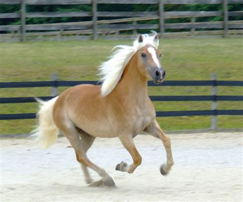 haflinger horse horses wonderful halflinger most ever horseys know weneedfun pretty another cute around fogelberg hans need ride