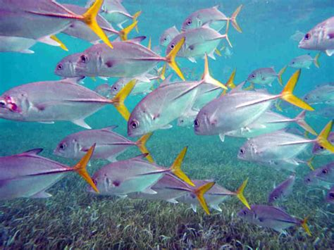 diving  trevally dive  world creature features