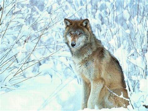 uccidere lupi 232 necessario dite ai bracconieri come conviverci