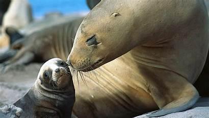 Animals Sea Lion Nature Moustache Desktop Animal