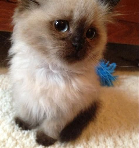 do ragdoll cats shed want this cat its called a ragdoll they re hypoallergenic
