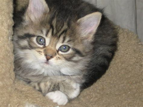 maine coon purebred kittens for sale adoption from atlanta