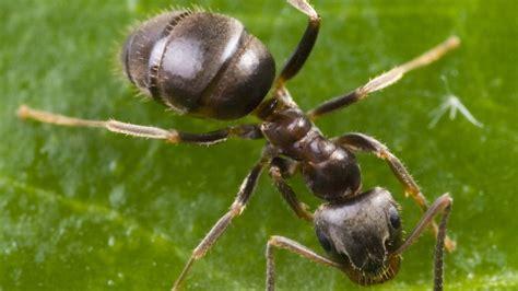 was sind ameisen ameisen sch 228 dliche ameisenarten ameisen insekten und spinnentiere natur planet wissen