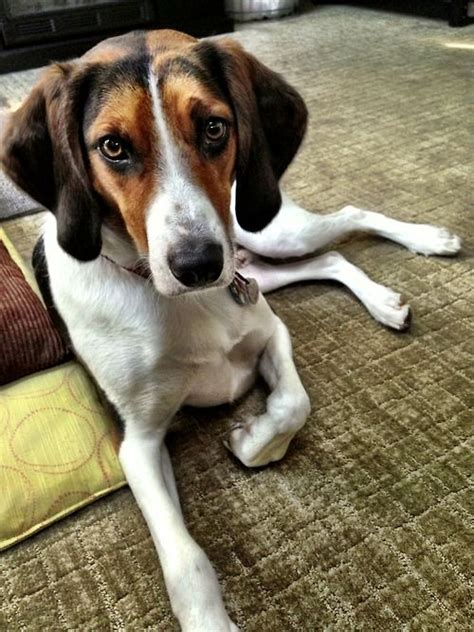 walker coonhound treeing hound dog mix puppies dogs coon puppy pets beagle run they cuddle outside coonhounds inside meticulously breed