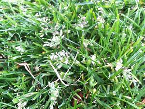 fescue (?) with white flowers in lawbn