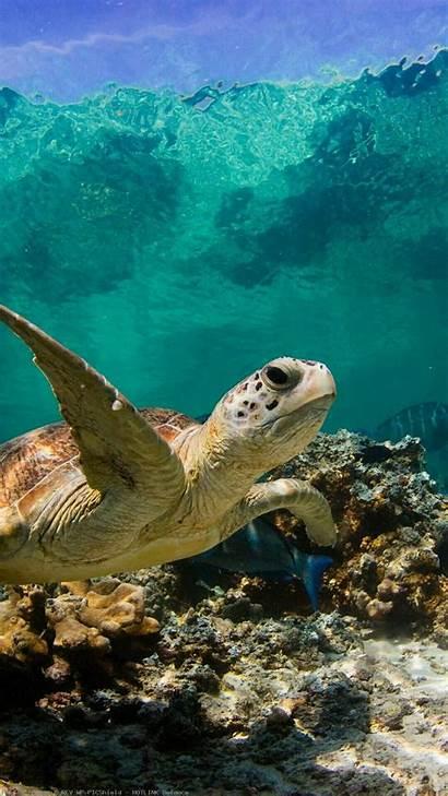 Turtle Sea Iphone Turtles Wallpapers Ocean Desktop