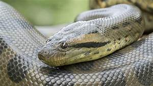 11 Fun Facts About Anacondas   Mental Floss