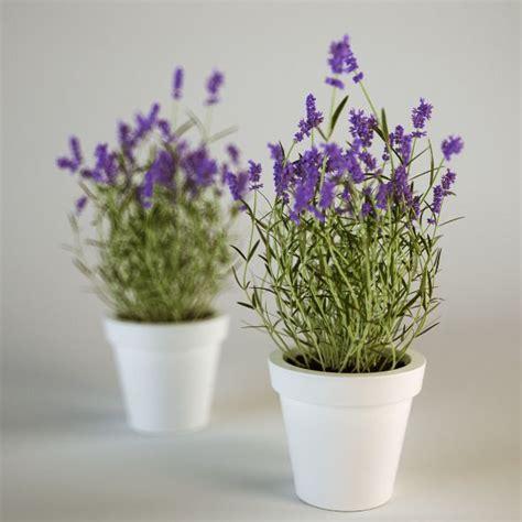 lavanda in vaso lavanda come coltivarla in vaso e nell orto
