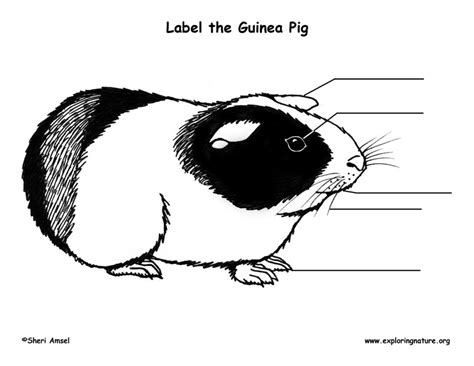 Guinea Pig Diagram Label by Guinea Pig Labeling Page