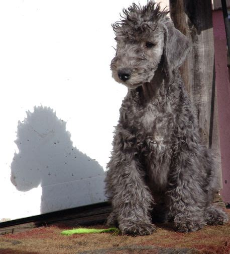 bedlington terriers fc ideas  pinterest