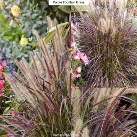 is purple grass a perennial or annual purple fountain grass pennesetum setaceum quot rubrum quot type ornamental perennial grass grown as