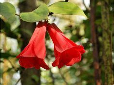copihue chile s national flower tattoos pinterest flower flowers and gardens