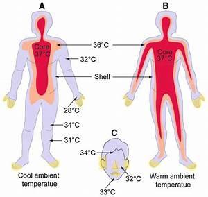Diagrammatic Illustration Of Body Temperature In The Human
