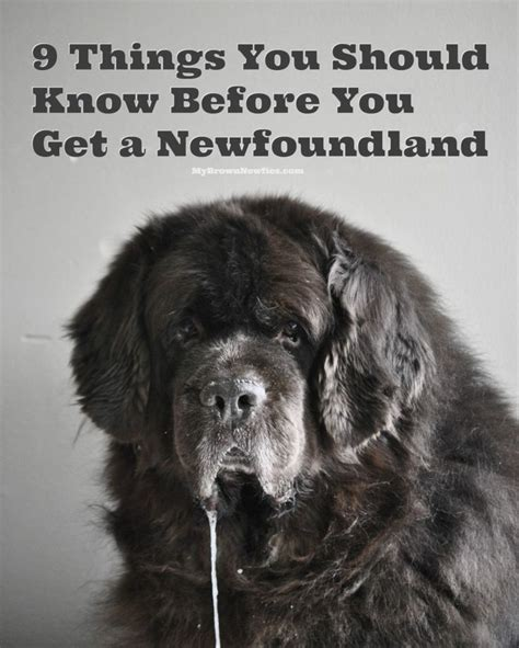 1000 images about newfies and dogs on pinterest