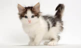 cat animal breeds forest cat breed information