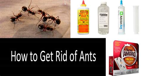 how to get rid of black ants how to get rid of ants