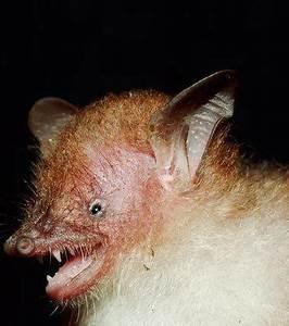Dents Qui Se Déchaussent Photos : photo la deuxi me esp ce murina walstoni qui montre ses crocs des dents qui lui permettent ~ Medecine-chirurgie-esthetiques.com Avis de Voitures