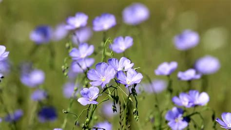 Definition Of Flaxen by Asian Flax Definition Meaning