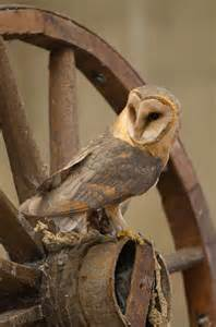 Wagon Wheel On Barn Owl