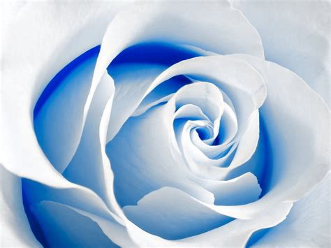 Blue And White Rose Wallpaper 17 Cool Wallpaper