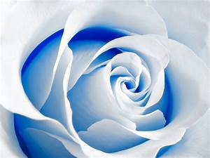 Blue And White Rose Wallpaper 17 Cool Wallpaper ...