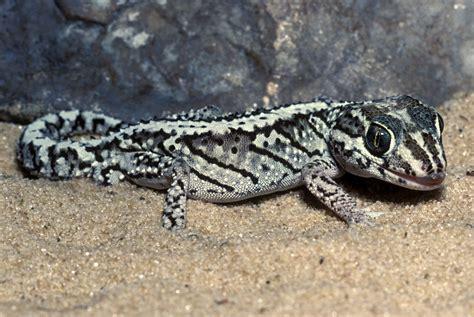 panther gecko basic care guide to pet panther geckos
