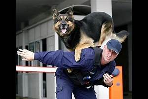 German Shepherd- Police Dog Wallpapers Free Download ...