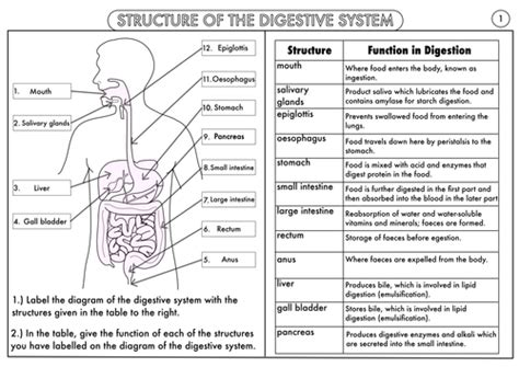 gcse digestion topic resource by beckystoke teaching resources tes