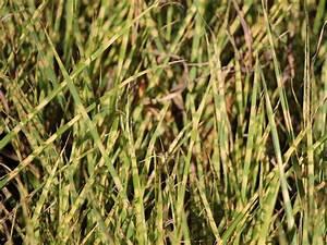 Gräser Zurückschneiden Frühjahr : zebraschilf 39 gold bar 39 miscanthus sinensis 39 gold bar ~ Lizthompson.info Haus und Dekorationen