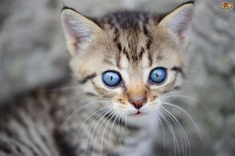 kittens eyes colour kitten cats change cat why does breed pets4homes later they pet hard