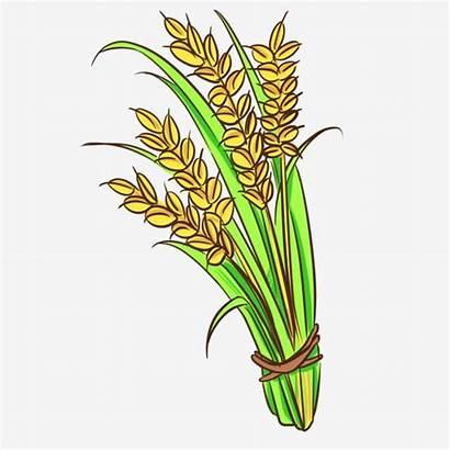 Rice Padi Paddy Clipart Gambar Ilustrasi Tanaman