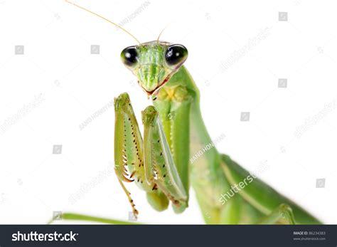 Praying Mantis On White Background Stock Photo 86234383 ...