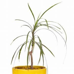 Palme Gelbe Blätter : yucca palme hat trockene bl tter ursachen und ma nahmen ~ Lizthompson.info Haus und Dekorationen
